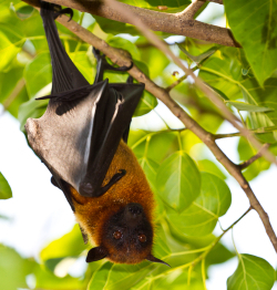 Flying fox caught in netting