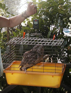 Weighing a Tawny Frogmouth